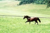 Picture of austrian half blood colt at wilhelm, piber