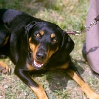 Picture of austrian hound head shot