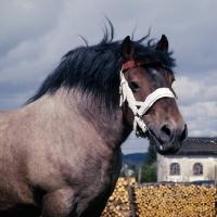Picture of Avenir de Latour, Ardennais stallion, head and shoulders