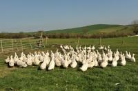 Picture of Aylesbury ducks