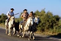 Picture of bandido, gardiens escorting a bull to games on road near les saintes maries de la mer, camargue ponies