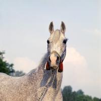 Picture of bandola, polish arab mare at  janow podlaski, poland