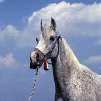 Picture of Bandola, Polish Arab mare at janow podlaski stud