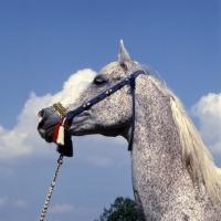 Picture of Bandola Polish Arab mare head study
