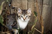 Picture of Barn kitten hiding in shrubs