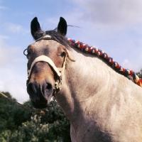 Picture of Bart van Wyngaarden, Dutch Draught Horse