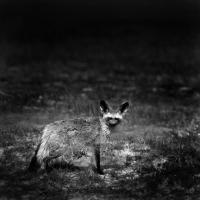 Picture of bat eared fox, amboseli np, africa,
