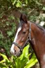 Picture of bay marwari mare portrait