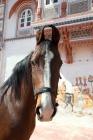 Picture of bay marwari portrait, at rohet garh India