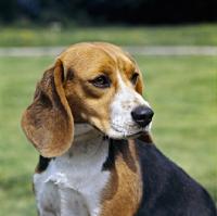 Picture of beagle head portrait