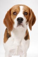 Picture of Beagle in studio