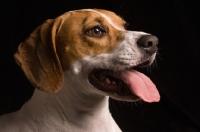 Picture of Beagle portrait in studio