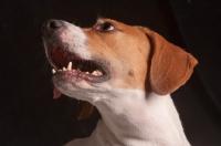 Picture of Beagle portrait