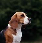 Picture of beagle, portrait