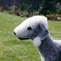 Picture of bedlington terrier  from leiberlamb kennels, portrait