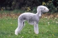 Picture of Bedlington Terrier, breed shot
