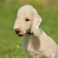 Picture of Bedlington Terrier head study