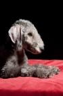 Picture of Bedlington Terrier lying down
