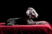 Picture of Bedlington Terrier lying on red blanket