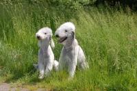 Picture of Bedlington Terrier pair