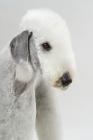 Picture of Bedlington Terrier, portrait