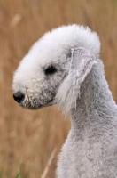 Picture of Bedlington Terrier profile
