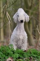 Picture of Bedlington Terrier