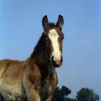 Picture of Belgian foal head study