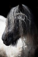 Picture of Belgian heavy horse, portrait