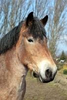 Picture of Belgian horse, portrait