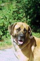 Picture of Belgian mastiff portrait