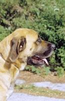 Picture of Belgian Mastiff profile