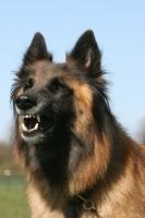 Picture of Belgian Shepherd Dog, Malinois barking