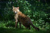 Picture of Bengal male cat standing in grass, champion Guru Nuvolari