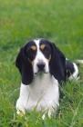 Picture of Berner Niederlaufhund