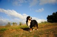 Picture of Bernese Mountain Dog (aka Berner Sennenhund) standing on grass