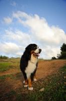 Picture of Bernese Mountain Dog (aka Berner Sennenhund)