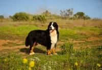 Picture of Bernese Mountain Dog (aka Berner Sennenhund) in field