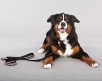 Picture of Bernese Mountain Dog (Berner Sennenhun) lying down