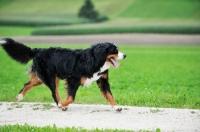 Picture of Bernese Mountain dog, walking