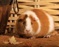 Picture of bi-coloured guinea pig