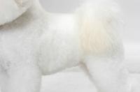 Picture of Bichon Frise coat detail