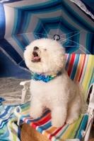 Picture of Bichon Frise under parasol