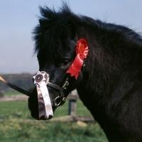 Picture of bincombe vanguard, shetland pony head study