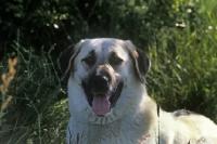 Picture of birici's alphie, anatolian shepherd dog, portrait