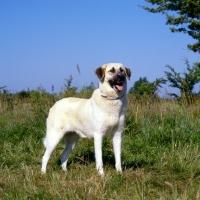 Picture of birici's alphie, anatolian shepherd dog on grass