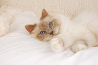 Picture of birman cat lying on a duvet