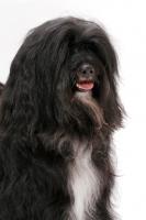Picture of Black & White & Tan Tibetan Terrier, portrait