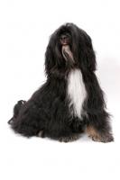 Picture of Black & White & Tan Tibetan Terrier in studio