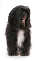 Picture of Black & White & Tan Tibetan Terrier